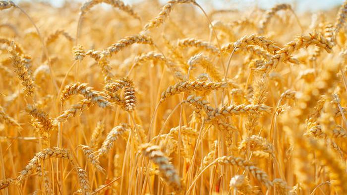 Экспорт украинского зерна нового сезона падает из-за кукурузы