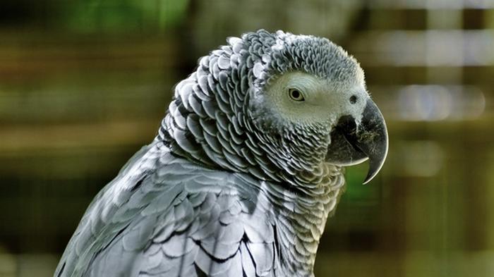 В Британии попугаев изолировали из-за сквернословия