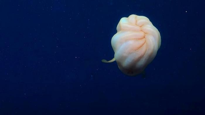 На глубине у берегов Австралии сняли на видео странного морского обитателя со щупальцами (видео)