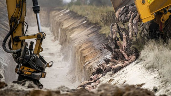 В Дании хотят откопать инфицированных коронавирусом норок