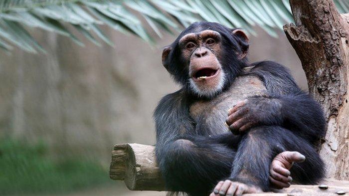 Любовь к чистоте. В зоопарке Таллина шимпанзе решил сам убрать вольер и помыть окна: видео