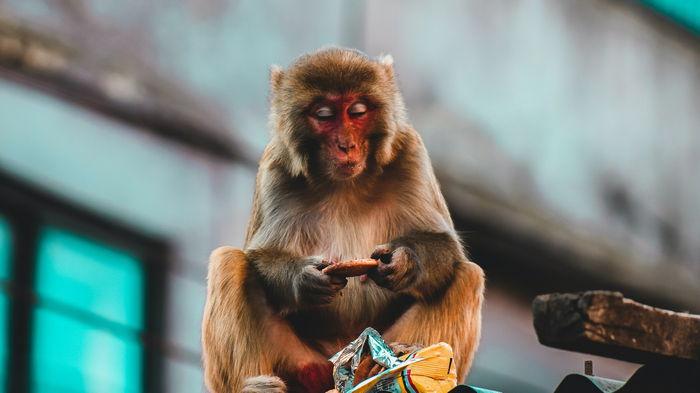 Голодные обезьяны взбунтовались и объедают жителей Венесуэлы