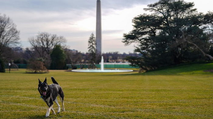 Овчарки Байдена вернутся в Белый дом после ситуации с укусом