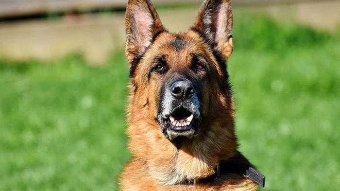 В Бельгии собаки могут определять коронавирус по запаху
