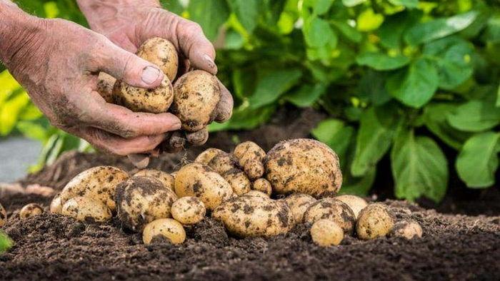 Как правильно выбрать семена картофеля на посадку