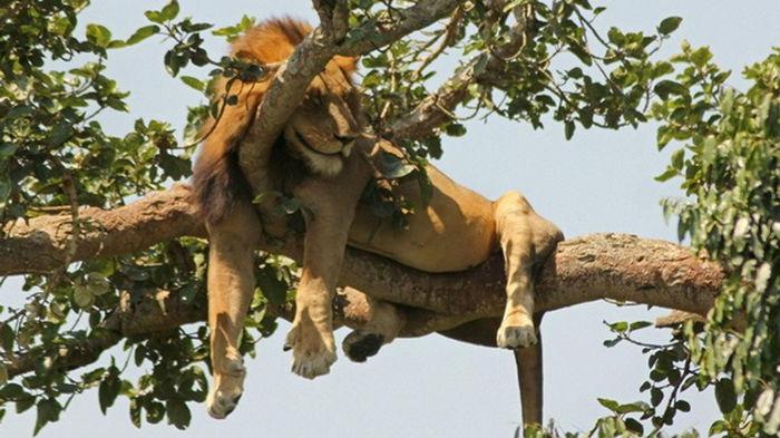 В нацпарке Уганды найдены расчлененными шесть львов