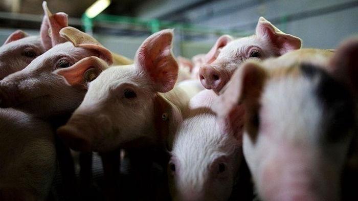 На Буковине уничтожат более 20 тысяч свиней