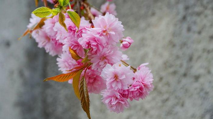 В Ужгороде расцвела японская вишня и магнолии (фото)