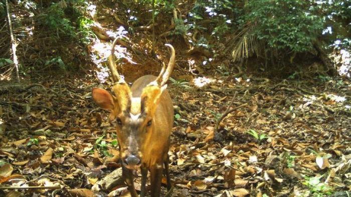 Нет, не вымер. Редчайший вид оленя заметили в Камбодже