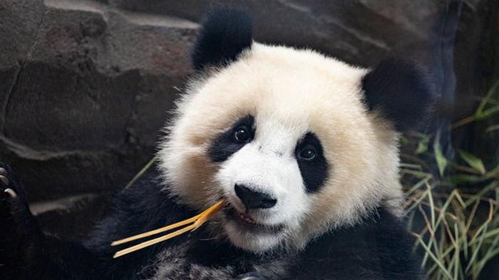 Китай: Большим пандам больше не грозит исчезновение, но они по-прежнему уязвимы