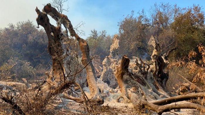 В Греции сгорело 2500-летнее дерево (фото)
