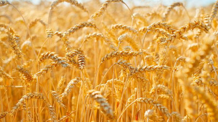 Впервые украинские аграрии соберут больше зерновых, чем при СССР