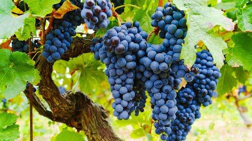 Производство винограда сократилось на четверть: названы причины